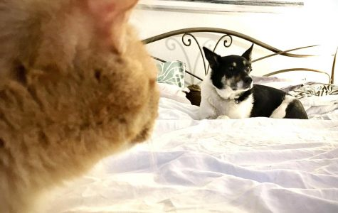 The author's dog and cat share looks of loathing from across the bed.